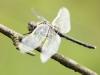 Leucorrhinia albifrons - female _IMG_7962