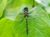 Leucorrhinia dubia - teneral male (immature)