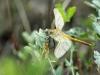 Sympetrum fonscolombii - male_im