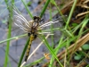 Leucorrhinia pectoralis - female immature