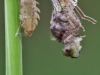 Leucorrhinia caudalis male metamorphose_img_2487