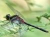Leucorrhinia dubia - Kleine Moosjungfer