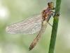 Leucorrhinia albifrons Weibchen