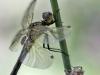 Leucorrhinia dubia - female with Exuvie