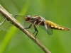 Libellula depressa - Plattbauch - Segellibelle - Libellulidae - Großlibelle - Anisoptera