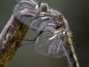 Leucorrhinia pectoralis - female - immature