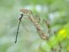 Chalcolestes viridis - female