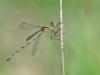 Lestes sponsa - female juvenil _IMG_2955
