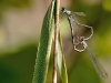 Chalcolestes viridis - Copula /Lestes viridis
