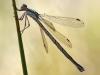 Lestes virens vestalis - female (img1624)