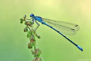 Libellen - Odonata > Kleinlibellen - Zygoptera > 4 Familien in Mitteleuropa