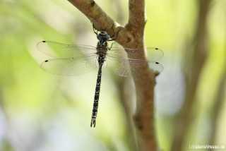 Caliaeschna microstigma - male