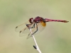 Trithemis annulata - male IMG_4901