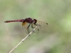 Trithemis annulata - male IMG_4904