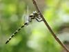 Cordulegaster picta - male IMG_4958