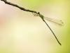 Chalcolestes parvidens - male (Lestes parvidens) IMG_5689