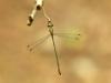 Chalcolestes parvidens - male (Lestes parvidens) IMG_5729