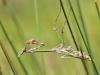 Empusa fasciata - female IMG_5750