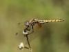 Trithemis annulata - female IMG_5839