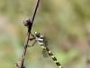 Cordulegaster picta - female IMG_6043