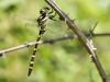 Cordulegaster picta - female IMG_6070