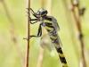 Cordulegaster picta - female IMG_6098