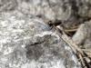 Selysiothemis nigra - male IMG_6249