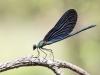Calopteryx virgo ssp. festiva - male - IMG_6329