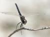 Selysiothemis nigra - male IMG_6874