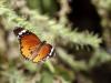 Danaus chrysippus IMG_7091