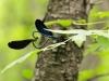 Calopteryx virgo ssp. festiva - copula IMG_7289