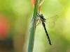 Caliaeschna microstigma - female IMG_7542