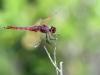 Trithemis annulata - male 141