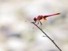 Trithemis annulata - male 142