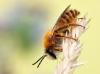 Hosenbiene-Dasypoda-hirtipes Mannchen
