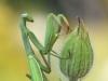 Mantis religiosa - female - Berlin